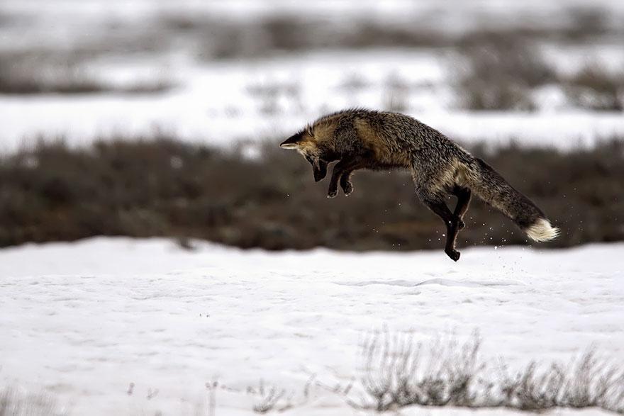 volpe-argentata-nera-11