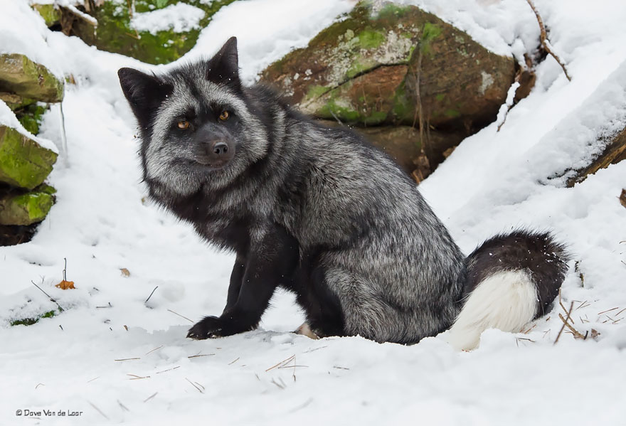 volpe-argentata-nera-12