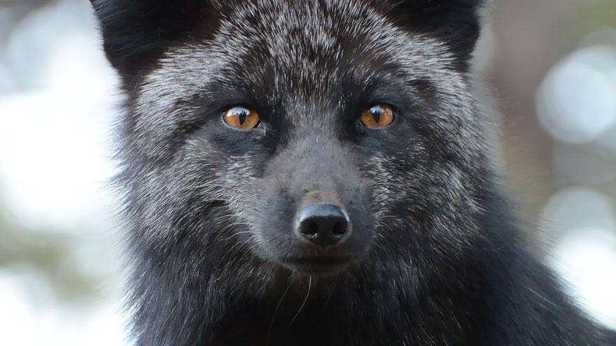 volpe-argentata-nera-13