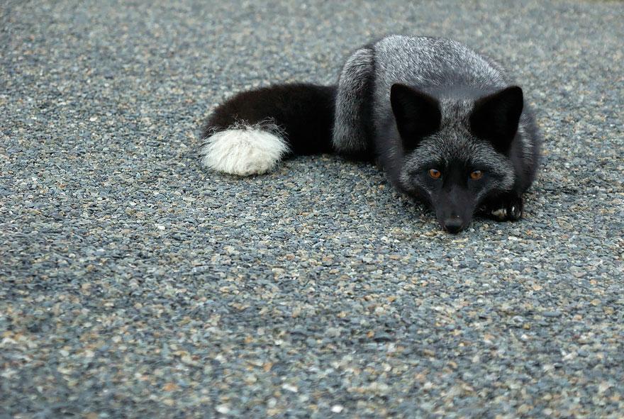 volpe-argentata-nera-15