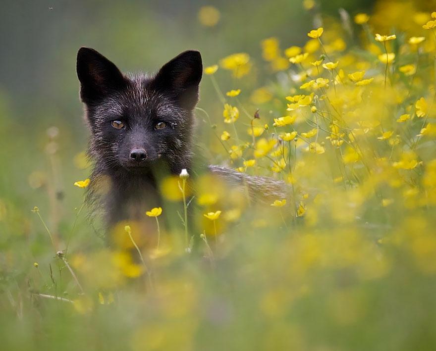 volpe-argentata-nera-16