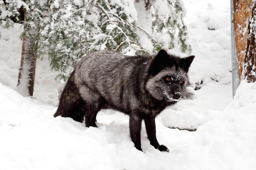 volpe-argentata-nera-17