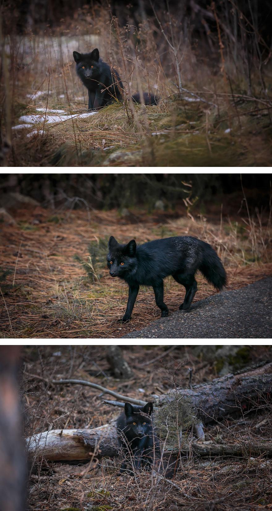 volpe-argentata-nera-19