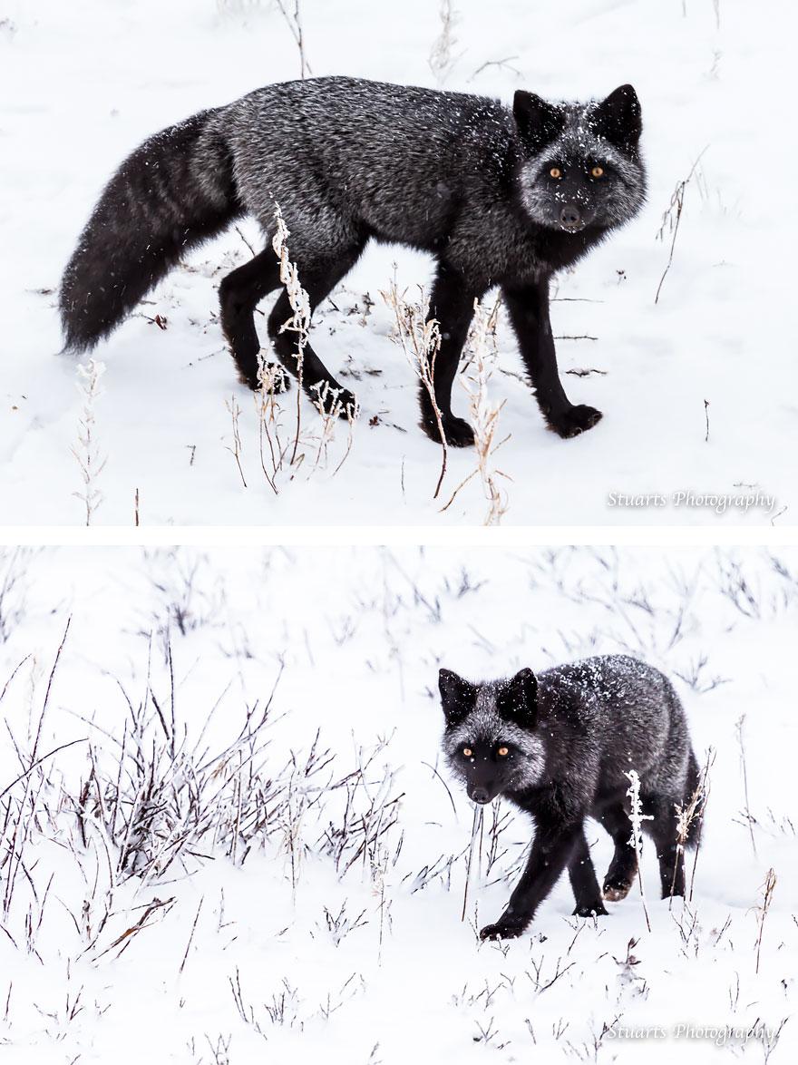volpe-argentata-nera-20