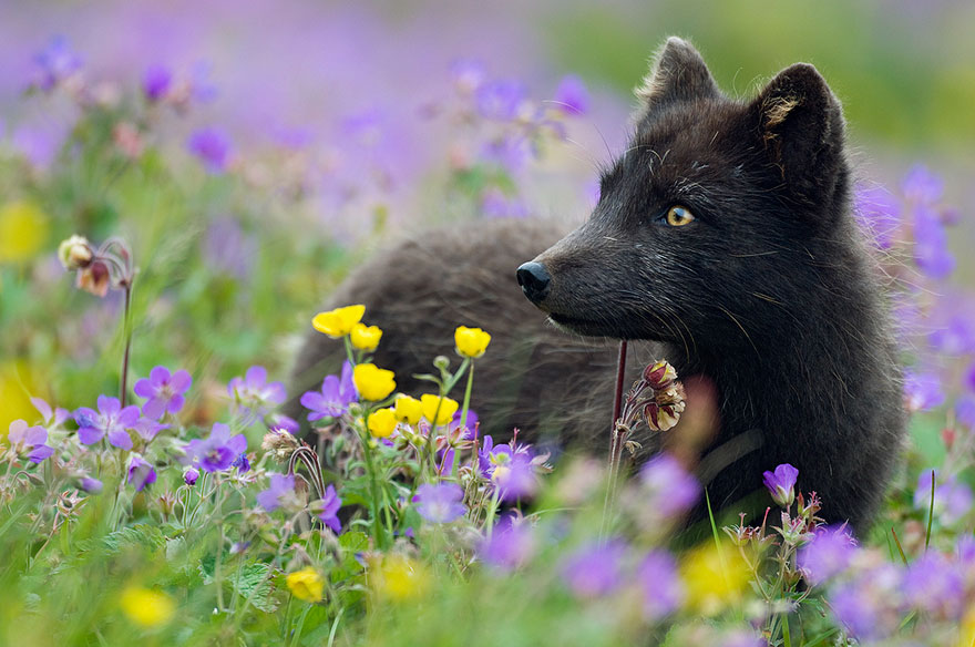 volpe-argentata-nera-23