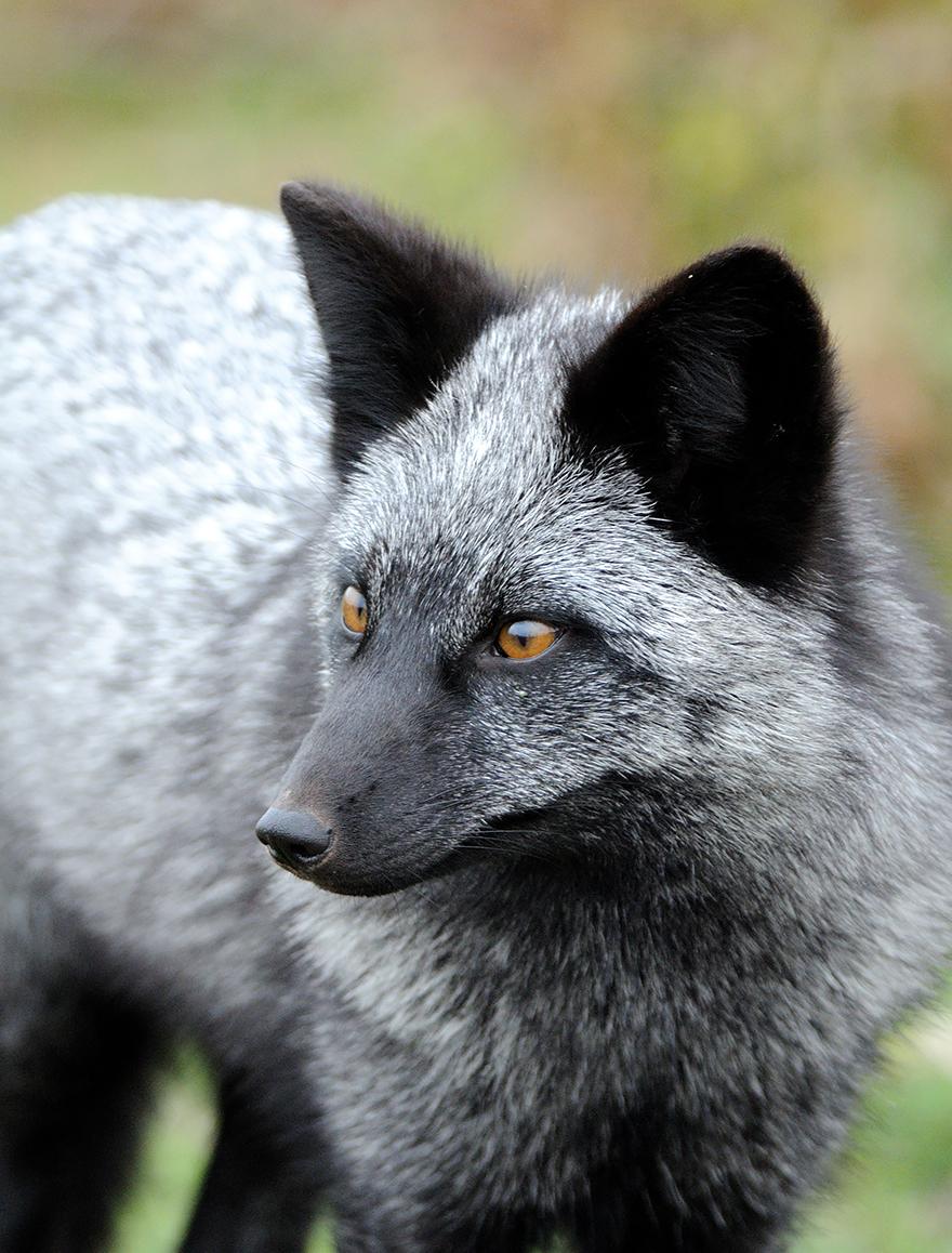 volpe-argentata-nera-24