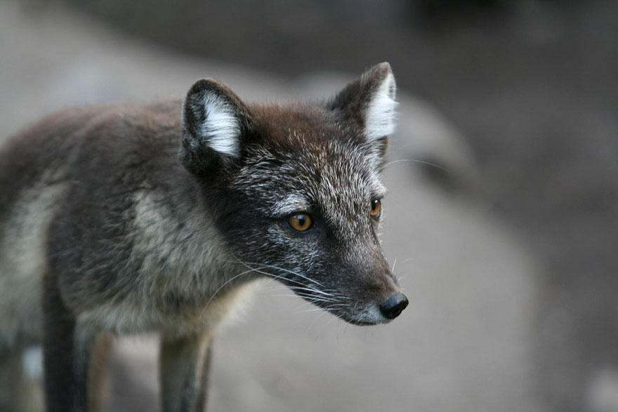 volpe-argentata-nera-25
