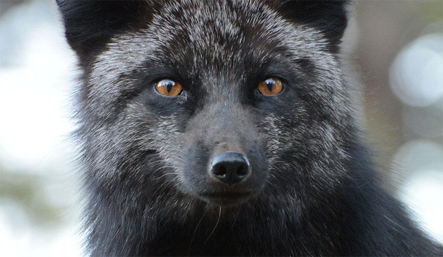 volpe-argentata-nera-27