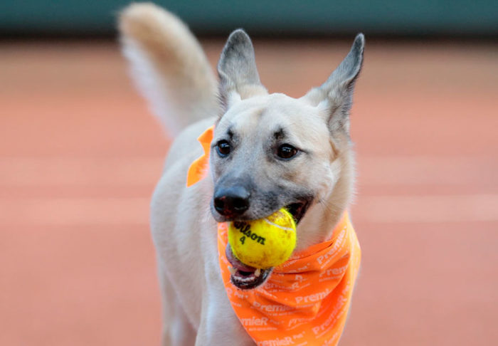 cani-randagi-raccattapalle-tennis-open-brasile-torneo-3