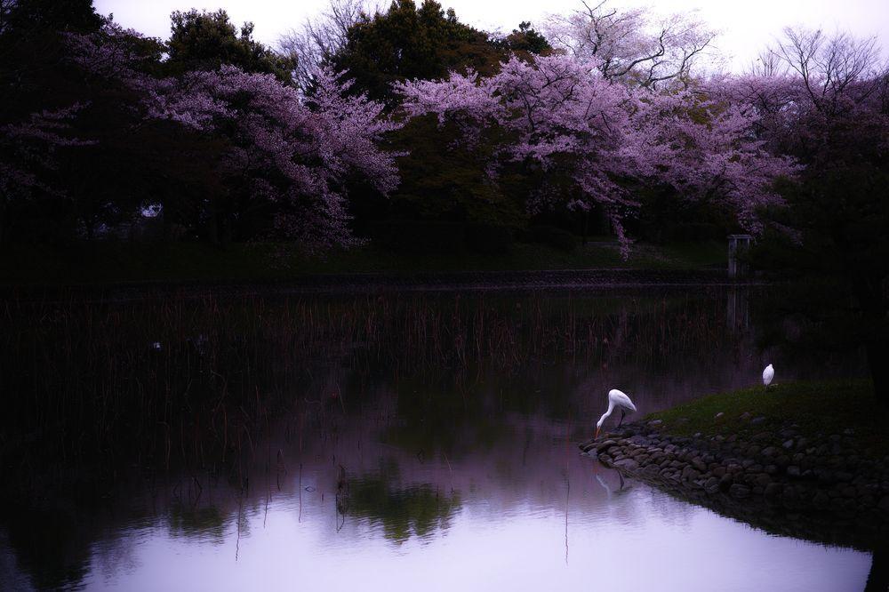 ciliegi-in-fiore-giappone-primavera-national-geographic-01