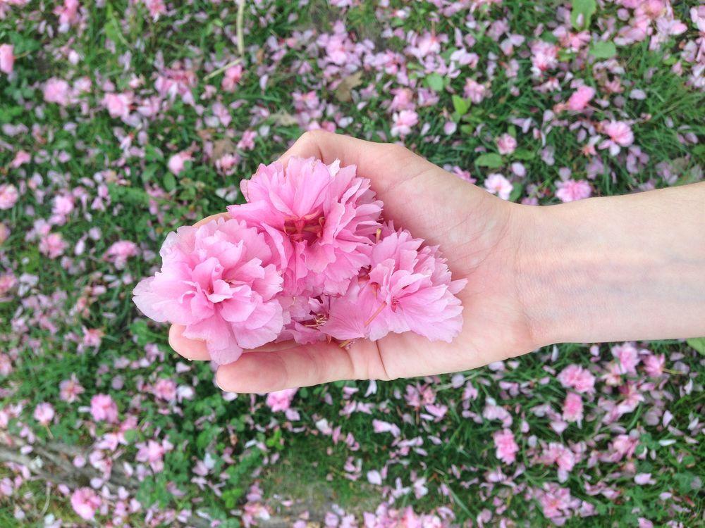 ciliegi-in-fiore-giappone-primavera-national-geographic-05