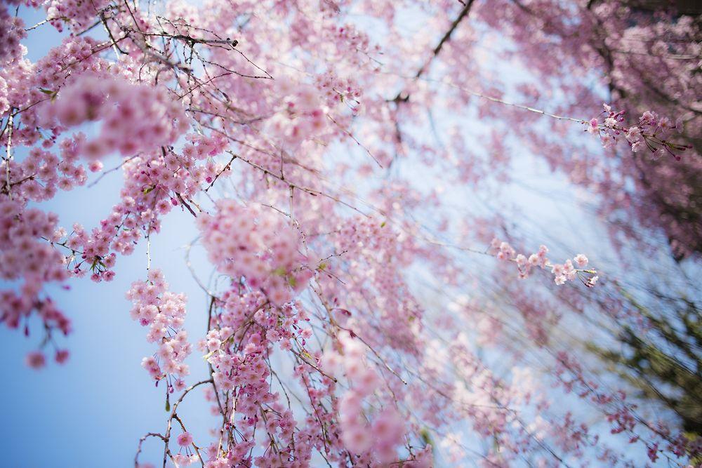 ciliegi-in-fiore-giappone-primavera-national-geographic-07