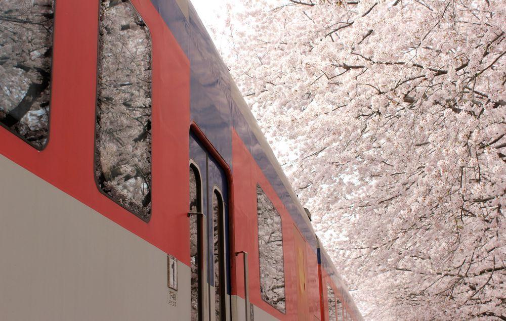 ciliegi-in-fiore-giappone-primavera-national-geographic-11