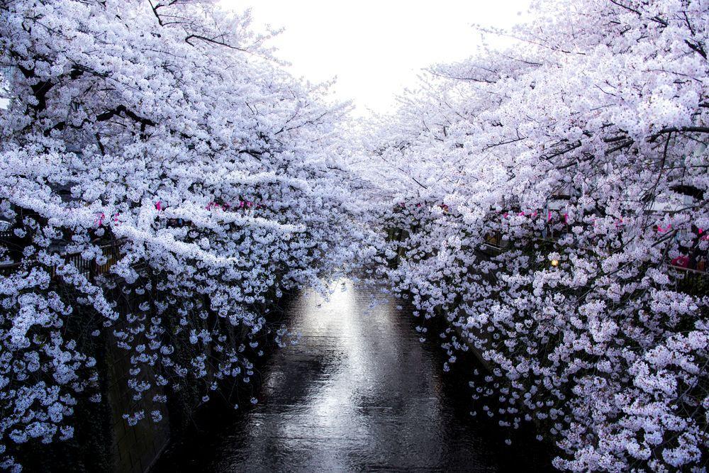 ciliegi-in-fiore-giappone-primavera-national-geographic-13