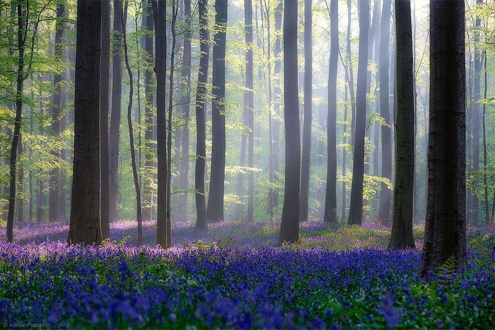 foresta-blu-giacinti-fiori-belgio-halle-bros-01