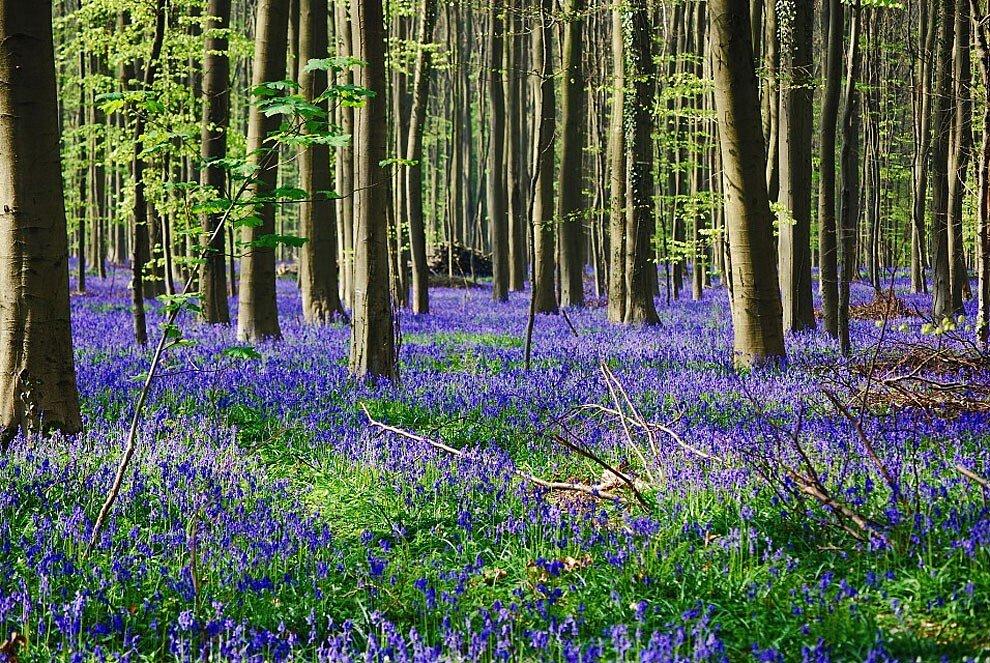 foresta-blu-giacinti-fiori-belgio-halle-bros-02