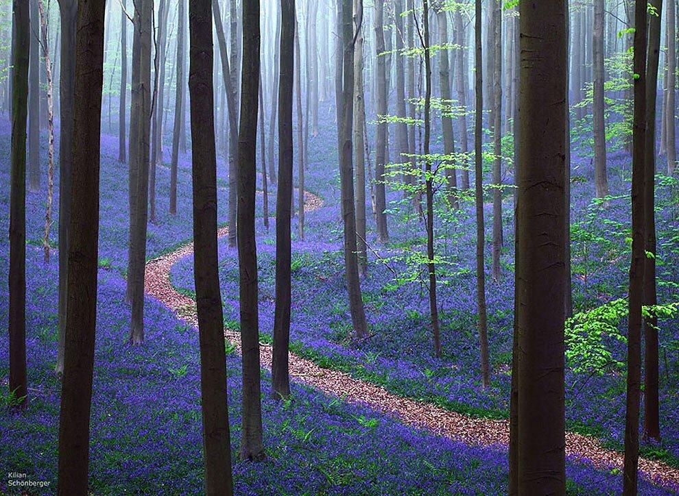 foresta-blu-giacinti-fiori-belgio-halle-bros-03