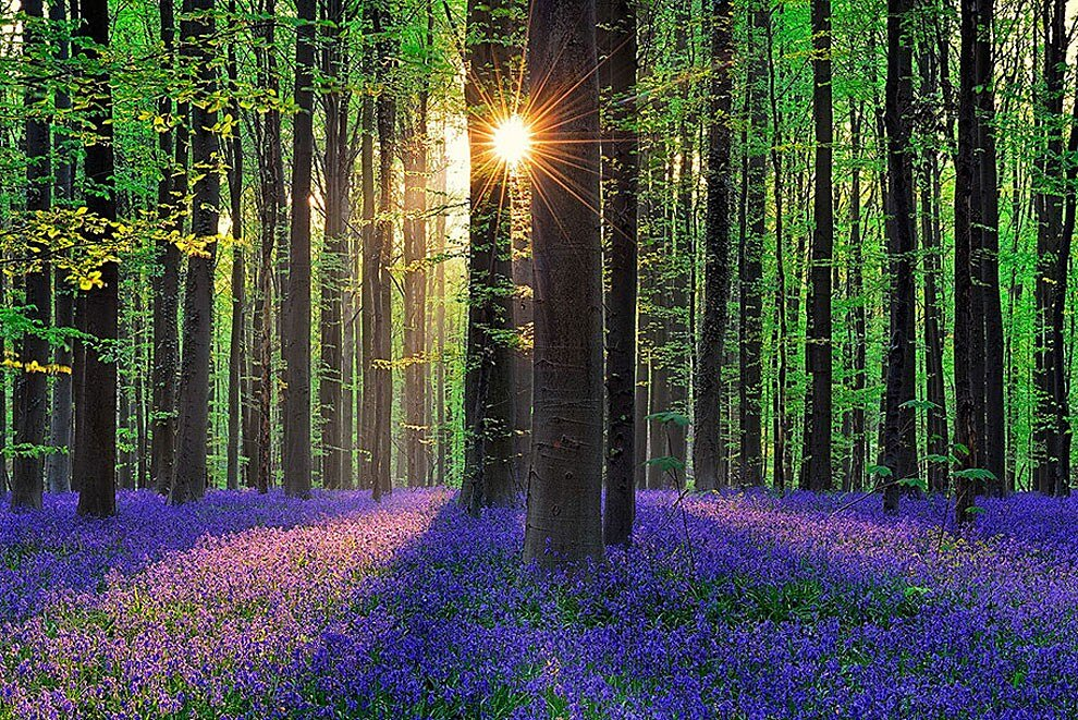 foresta-blu-giacinti-fiori-belgio-halle-bros-04