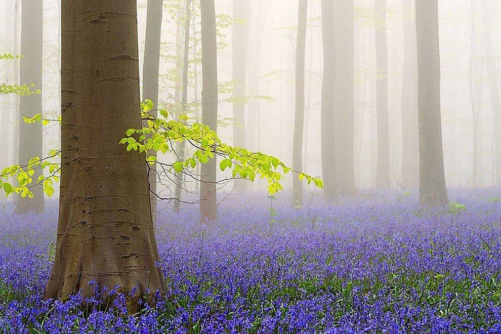 foresta-blu-giacinti-fiori-belgio-halle-bros-05