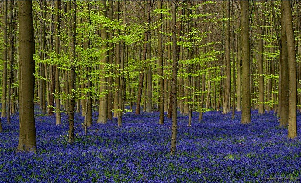 foresta-blu-giacinti-fiori-belgio-halle-bros-07