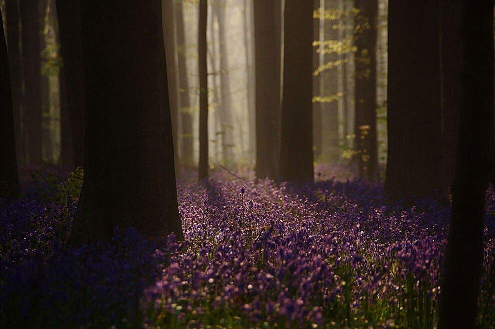 foresta-blu-giacinti-fiori-belgio-halle-bros-08