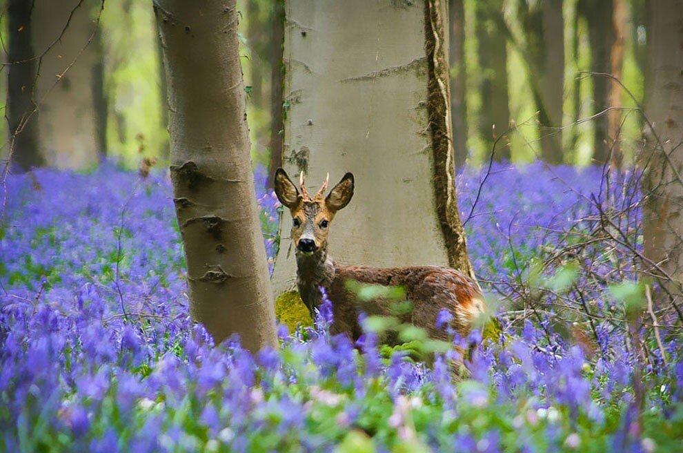 foresta-blu-giacinti-fiori-belgio-halle-bros-09