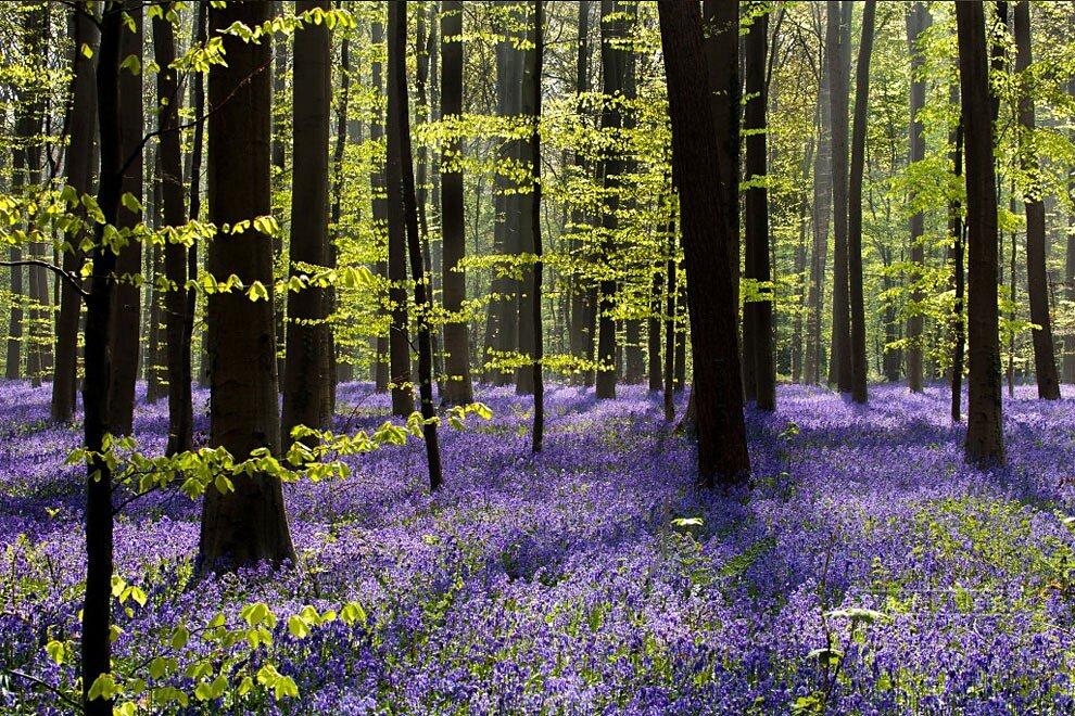 foresta-blu-giacinti-fiori-belgio-halle-bros-10
