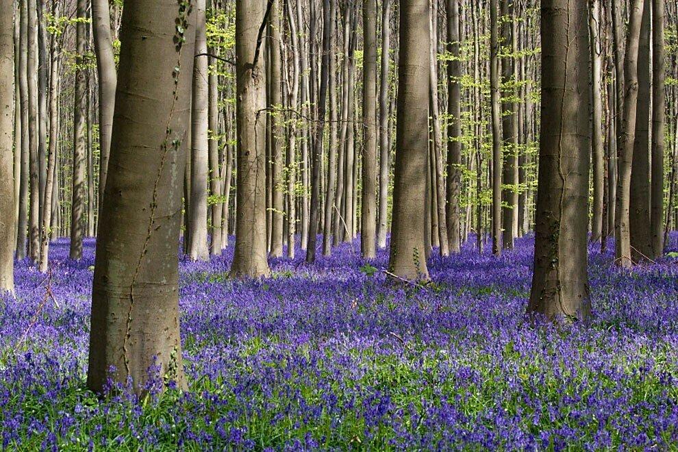 foresta-blu-giacinti-fiori-belgio-halle-bros-11