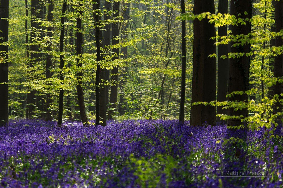 foresta-blu-giacinti-fiori-belgio-halle-bros-12