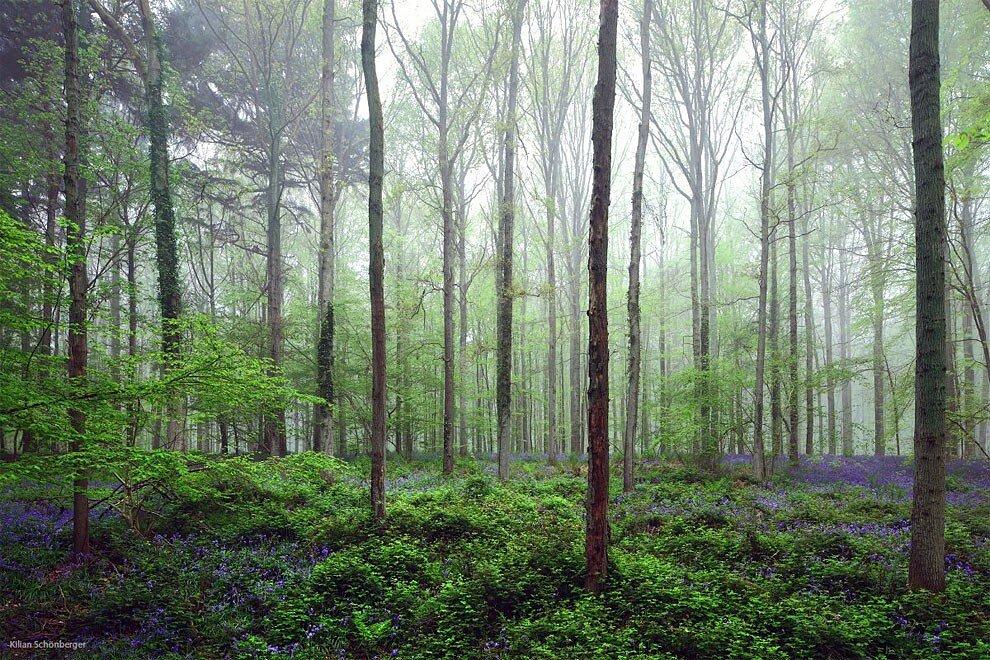 foresta-blu-giacinti-fiori-belgio-halle-bros-13