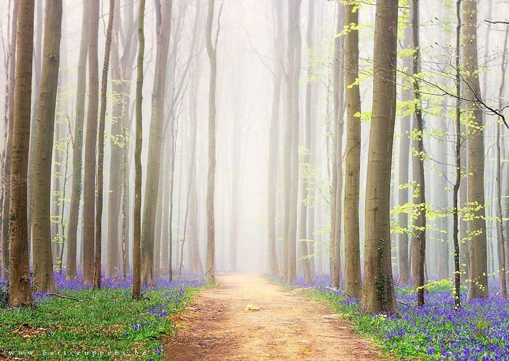 foresta-blu-giacinti-fiori-belgio-halle-bros-14
