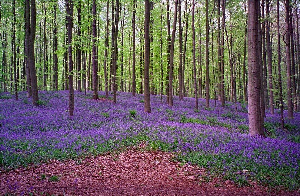 foresta-blu-giacinti-fiori-belgio-halle-bros-15