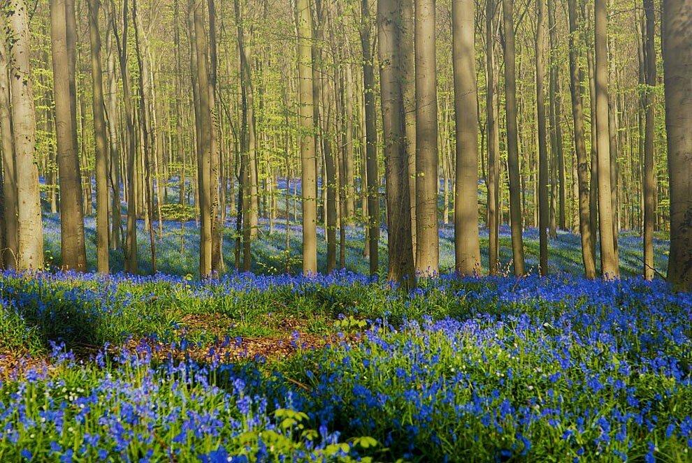 foresta-blu-giacinti-fiori-belgio-halle-bros-16