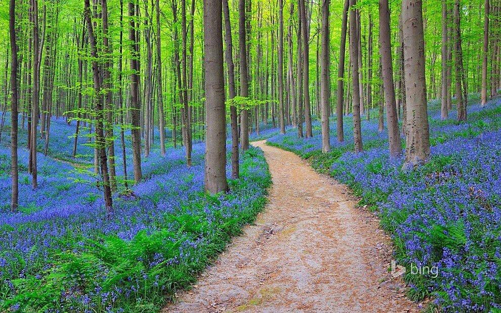foresta-blu-giacinti-fiori-belgio-halle-bros-17