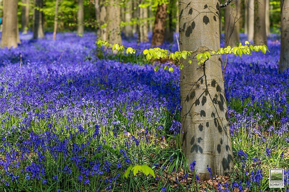 foresta-blu-giacinti-fiori-belgio-halle-bros-18