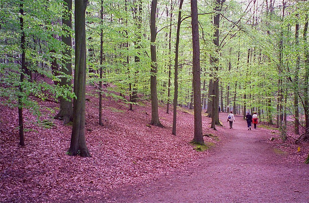 foresta-blu-giacinti-fiori-belgio-halle-bros-19