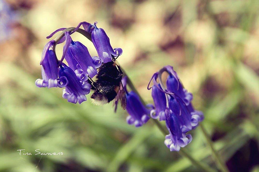 foresta-blu-giacinti-fiori-belgio-halle-bros-20