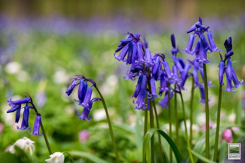 foresta-blu-giacinti-fiori-belgio-halle-bros-21