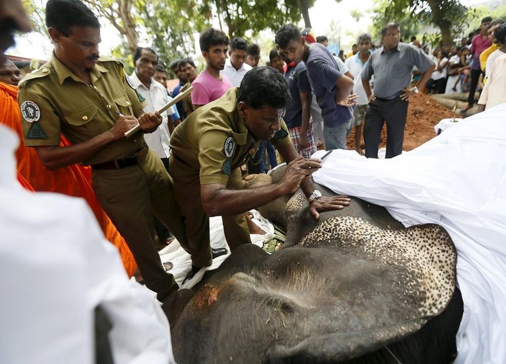 funerale-elefante-tempio-buddista-colombo-sri-lanka-04
