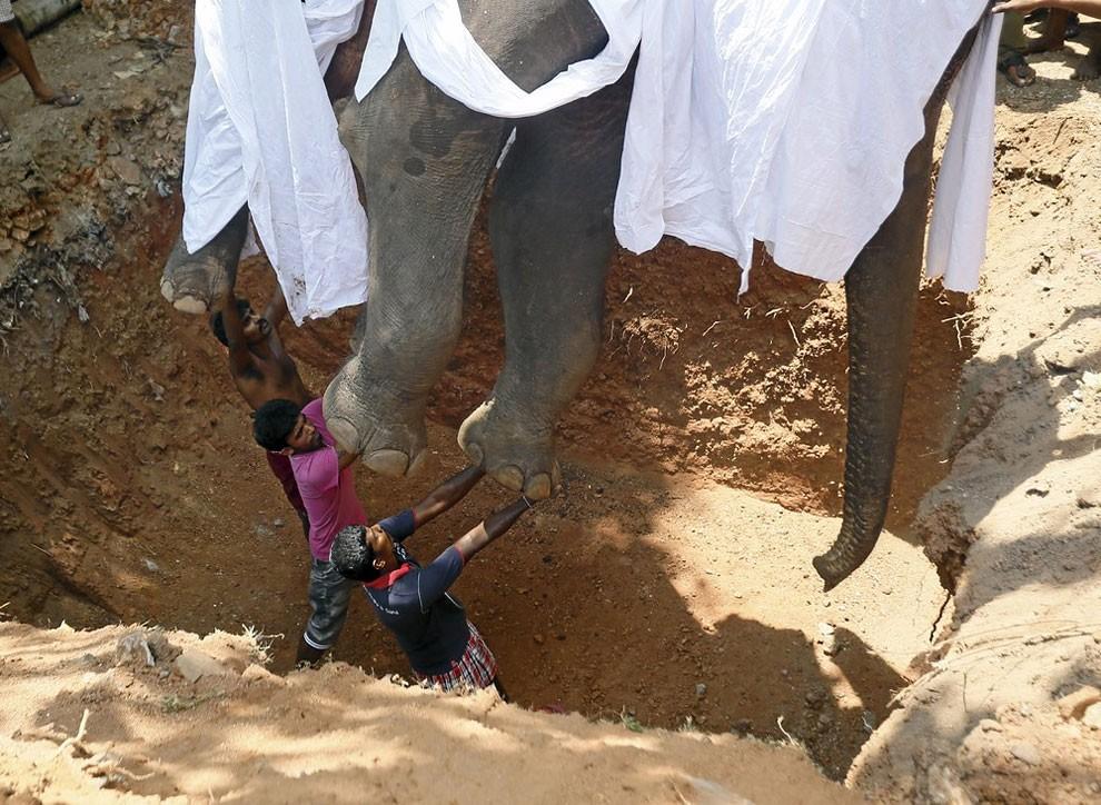 funerale-elefante-tempio-buddista-colombo-sri-lanka-09