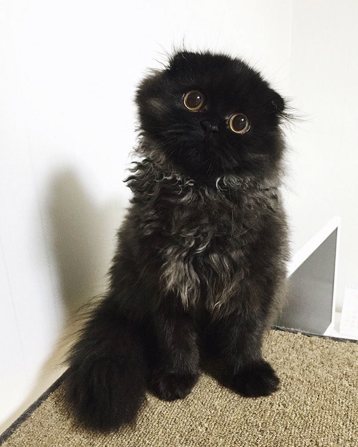 gatto-nero-occhi-grandi-gimo-03