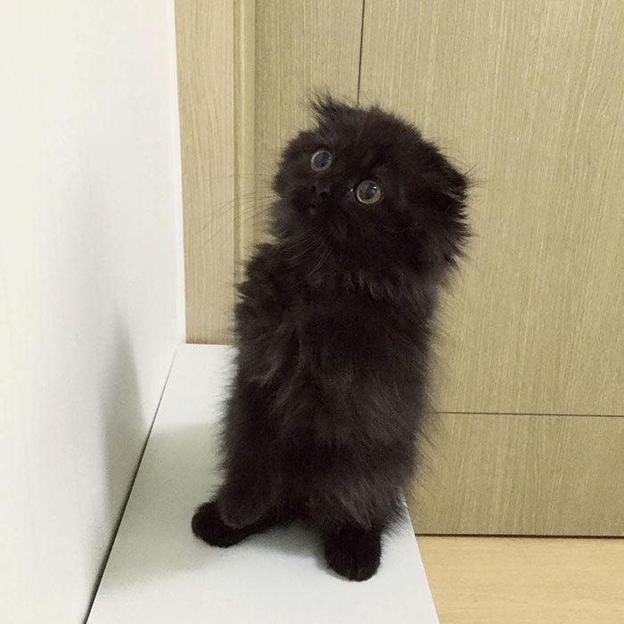 gatto-nero-occhi-grandi-gimo-04