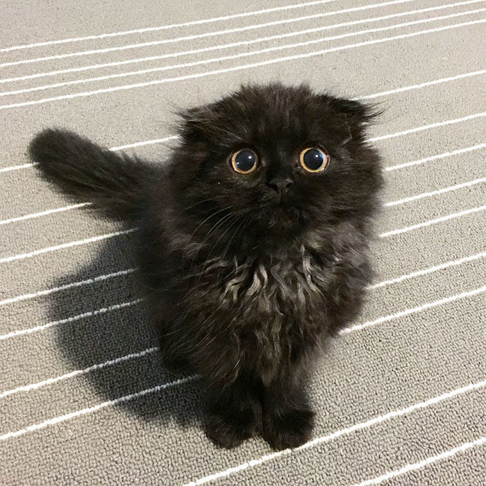 gatto-nero-occhi-grandi-gimo-06