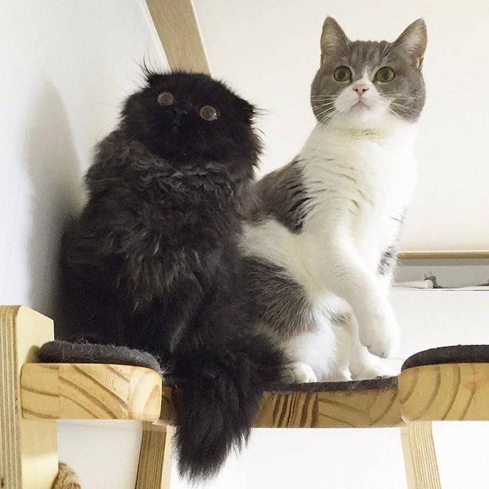 gatto-nero-occhi-grandi-gimo-11