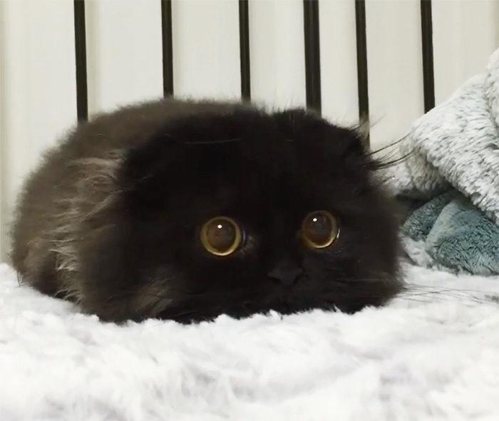gatto-nero-occhi-grandi-gimo-15