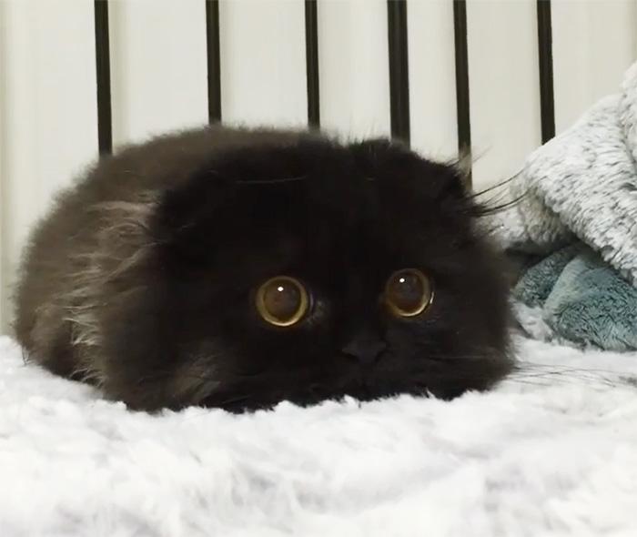Peloso nero micio com