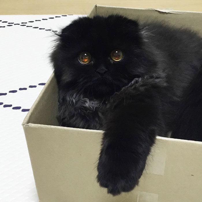 gatto-nero-occhi-grandi-gimo-16
