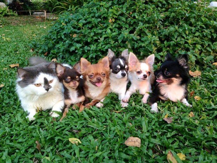 gatto-protegge-cuccioli-chihuahua-yuta-family-richie-1