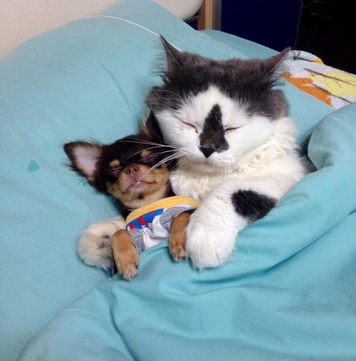 gatto-protegge-cuccioli-chihuahua-yuta-family-richie-2