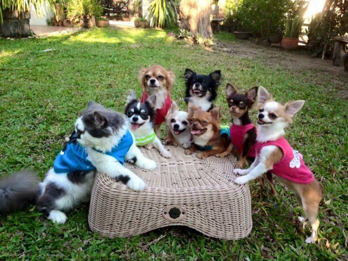 gatto-protegge-cuccioli-chihuahua-yuta-family-richie-21